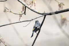 Oiseau (Paruline À Croupion Jaune) 050 Royalty Free Stock Photo