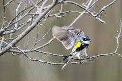 Oiseau (Paruline À Croupion Jaune) 092 Stock Images