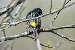 Oiseau (Paruline À Croupion Jaune) 099 Stock Photo