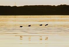 Oiseaux 2 de coucher du soleil Photo libre de droits