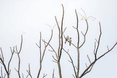 2 oiseaux accrochent dessus pour s'embrancher de l'arbre qui aucune feuille Fond blanc image stock
