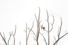 2 oiseaux accrochent dessus pour s'embrancher de l'arbre qui aucune feuille Fond blanc photographie stock libre de droits