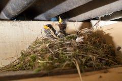 Oiseaux affamés de litlle dans le nid Photographie stock