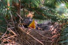 Oiseaux affamés de merle de bébé dans le nid Photo stock