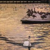 Oiseaux aquatiques au coucher du soleil Image stock