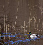 Oiseaux aquatiques - canard de colvert - platyrhynchos d'ana Image libre de droits