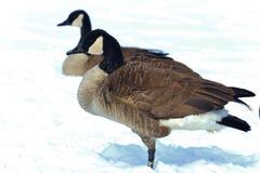 Oiseaux aquatiques d'hiver Photos stock