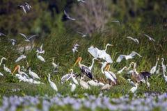 Oiseaux aquatiques dans la réservation naturelle du Panama, Sri Lanka photo stock