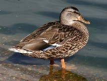 Oiseaux aquatiques de canard de colvert de poule Images libres de droits