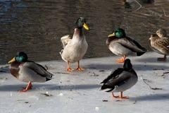 Oiseaux aquatiques en hiver dans Central Park Photo stock