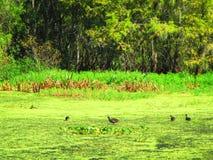 Oiseaux aquatiques marchant sur flotter la végétation aquatique photographie stock libre de droits