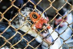 Oiseaux aquatiques mis en cage Images stock