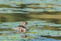 Oiseaux aquatiques - piti Images libres de droits