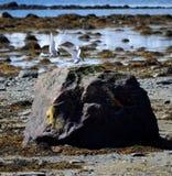 Oiseaux arctiques de sterne débarquant sur le rocher de bord de mer Photos libres de droits