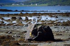 Oiseaux arctiques de sterne débarquant sur le rocher de bord de mer Image libre de droits