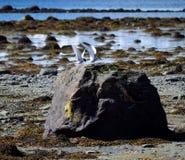 Oiseaux arctiques de sterne débarquant sur le rocher de bord de mer Photos stock
