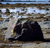 Oiseaux arctiques de sterne débarquant sur le rocher de bord de mer Images libres de droits