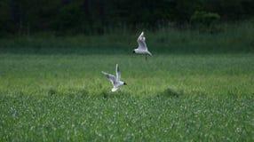 Oiseaux au-dessus de champ Image stock