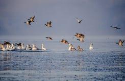 Oiseaux au-dessus de la Baltique Photos stock