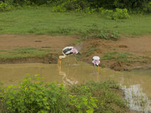 Oiseaux au Sri Lanka Photos stock