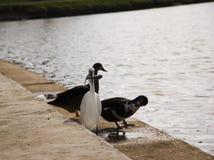 Oiseaux avec des poissons dans la bouche Images libres de droits