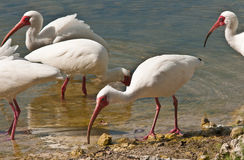 Oiseaux blancs d'IBIS alimentant dans un étang Photo stock