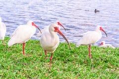 Oiseaux blancs d'IBIS en parc de lac Photographie stock