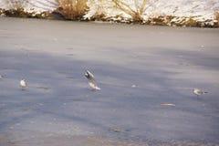 Oiseaux blancs qui volent au-dessus du lac glacé - France Photographie stock libre de droits