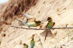 oiseaux Bleu-coupés la queue d'Abeille-mangeur Photos libres de droits