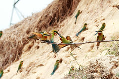 oiseaux Bleu-coupés la queue d'Abeille-mangeur Image stock