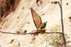 oiseaux Bleu-coupés la queue d'Abeille-mangeur Photographie stock libre de droits