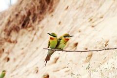 oiseaux Bleu-coupés la queue d'Abeille-mangeur Images stock