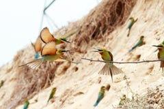 oiseaux Bleu-coupés la queue d'Abeille-mangeur Image libre de droits