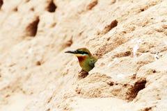 oiseaux Bleu-coupés la queue d'Abeille-mangeur Photos stock