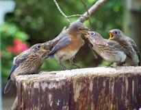 Oiseaux bleus Photos libres de droits