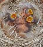 Oiseaux bleus orientaux nouveau-nés affamés Image libre de droits