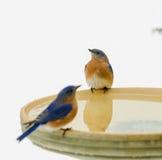 Oiseaux bleus orientaux pendant la tempête de neige Photographie stock libre de droits
