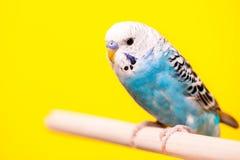 Oiseaux bleus soutenus par jaune photos stock