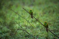 Oiseaux chassant ensemble Photo libre de droits