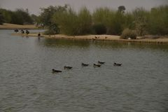 Oiseaux chez Al Qudra Lakes, Dubaï images libres de droits