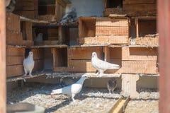 Oiseaux, colombes dans le colombier Photographie stock