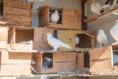Oiseaux, colombes dans le colombier Photo stock