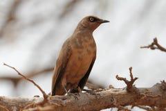 Oiseaux colorés africains Images stock