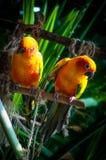 Oiseaux colorés de perroquet de conure du soleil Images libres de droits
