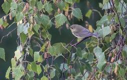 Oiseaux colorés entre les feuilles d'un arbre Image libre de droits
