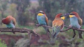 Oiseaux colorés exotiques d'amusement se reposant sur une branche banque de vidéos