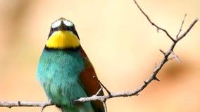 Oiseaux color?s - apiaster europ?en de Merops d'abeille-mangeur se reposant sur un b?ton et des regards autour Fin vers le haut banque de vidéos