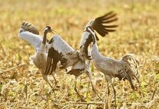 Oiseaux communs de grue Image libre de droits