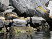 Oiseaux, cormorans Photos stock