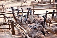 Oiseaux d'émeu Photographie stock